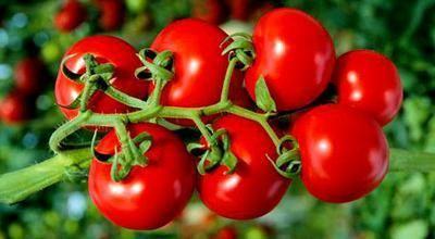 Почему холод вреден для помидоров?