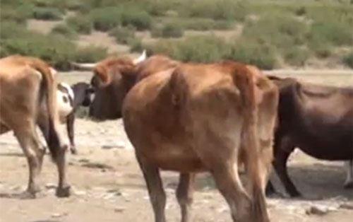 Azərbaycanın bu rayonunda 3 baş heyvan quduzluqdan öldü