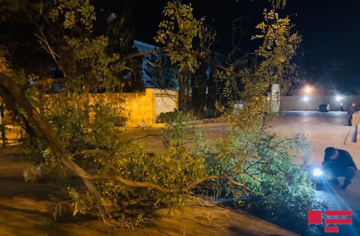 Bakıda 3 nəfərin xəsarət almasına səbəb olan ağacın daha bir budağı sınıb - FOTO