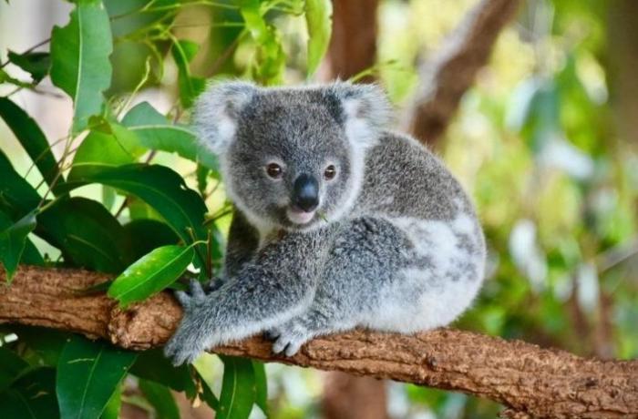 Avstraliyadakı meşə yanğınında nəsli tükənməkdə olan heyvan növündən 350–si ölüb
