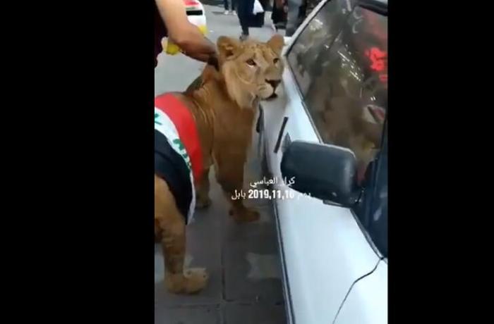 Bu ölkədə etirazçı mitinqdə aslanla iştirak etdi - VİDEO