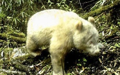 Çin'de ilk albino panda görüntülendi!