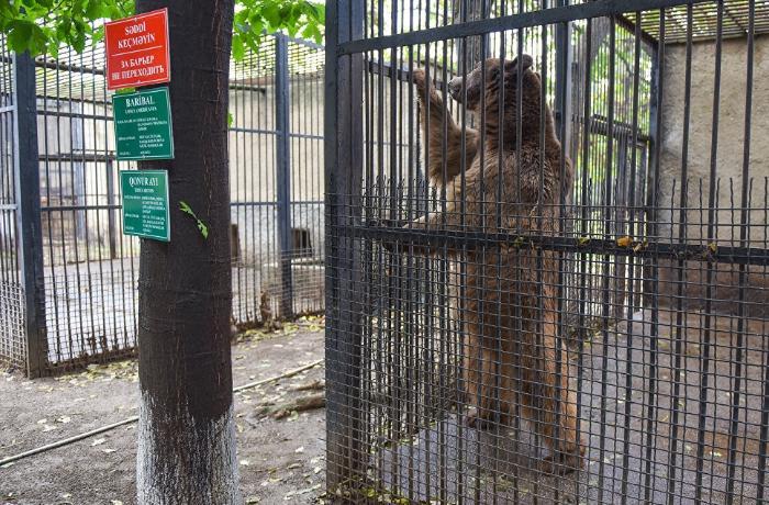 Zooparkdakı təmirə görə heyvanlar bu ərazidə saxlanılır - RƏSMİ AÇIQLAMA - FOTOLAR