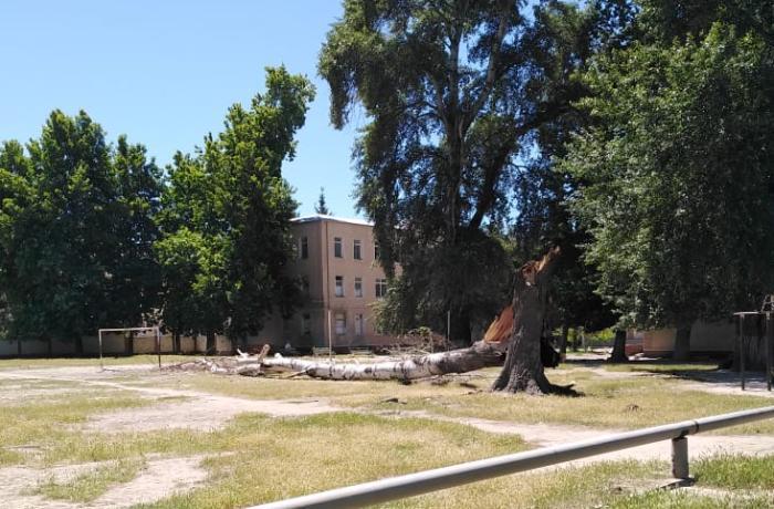 Mingəçevirdə iri gövdəli ağaclar küləyə tab gətirmədi - FOTO