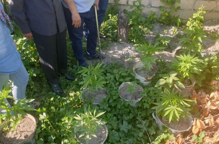 Həyətində narkotik bitkilər yetişdirən bərbər tutuldu