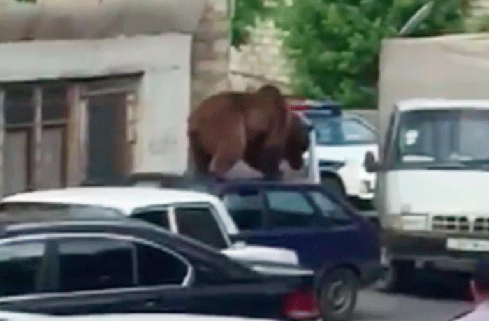Meşədən Şəki şəhərinə gələn ayı avtomobilin üstünə çıxdı - VİDEO