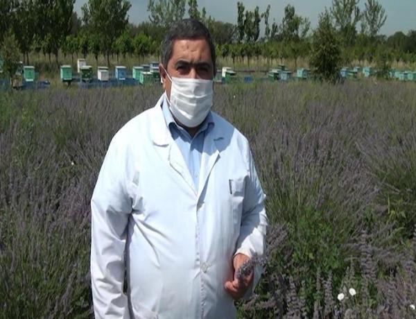 Goranboyda əkilən bu bitkidən alınan yağın bir qramı 150 avrodur - FOTO