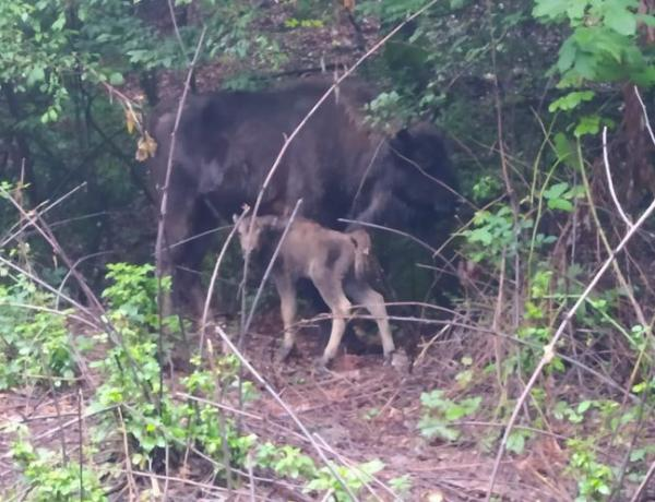 Şahdağ Milli Parkında üçüncü zubr balası dünyaya gəlib - FOTO