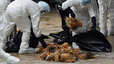Yaponiyada quş qripi epidemiyası yayılır