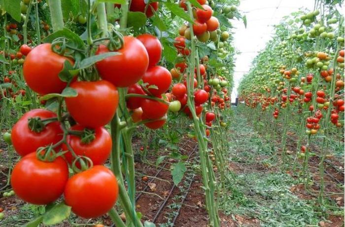Daha 7 müəssisədən Rusiyaya pomidor ixracına icazə verildi – SİYAHI