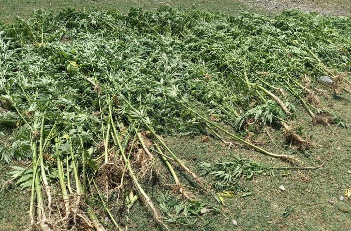 Yevlaxda çətənənin kultivasiyası ilə məşğul olan şəxs saxlanılıb